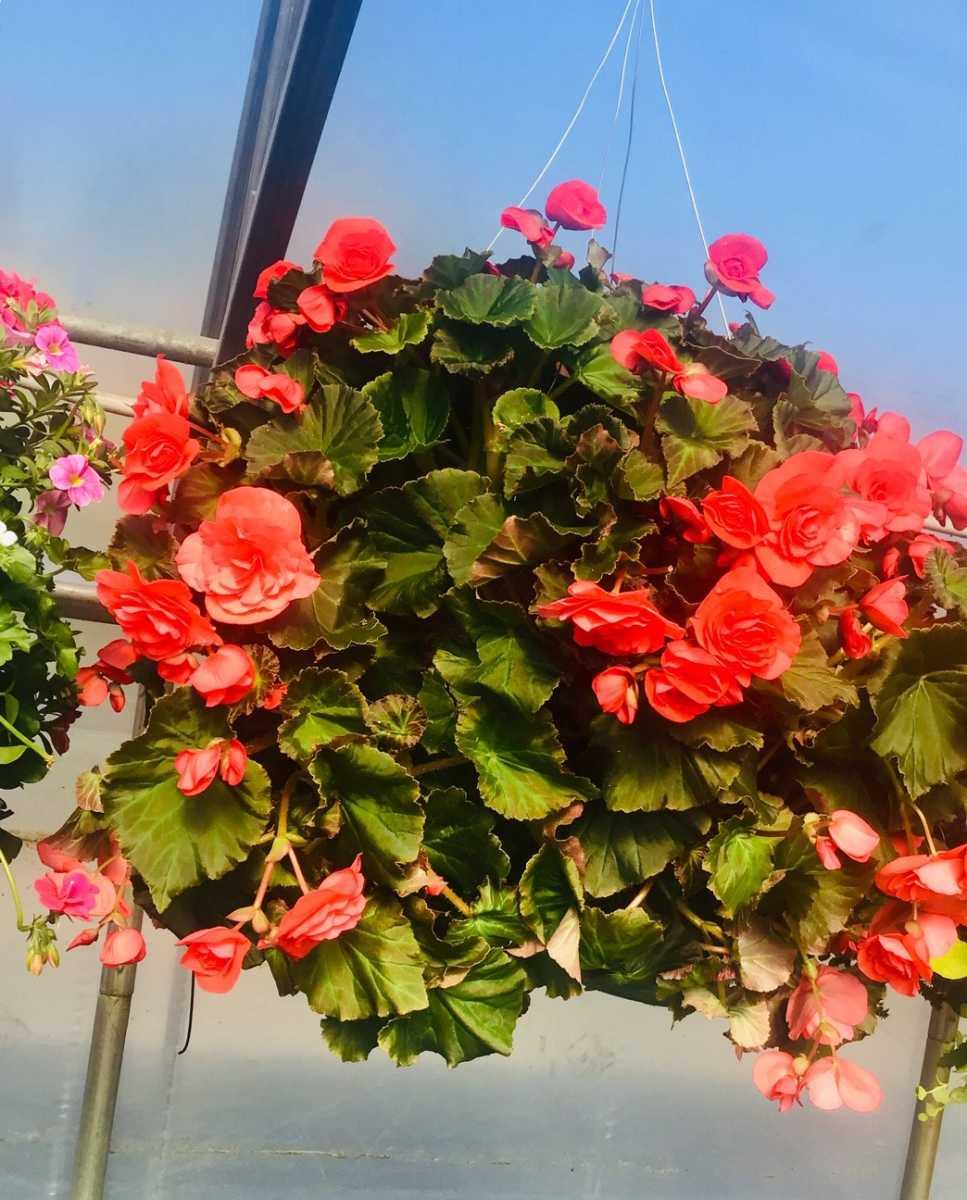 begonia hanging basket